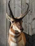 http://fc06.deviantart.net/fs71/i/2012/137/8/c/pronghorn_antelope_shoulder_mount_3_by_lilmissdoeeyes-d5040ez.jpg