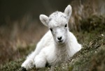 http://www.wallpoopy.com/baby-mountain-goat-hd-wallpaper/