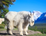 http://www.banffweddingphotos.com/wp-content/uploads/2013/01/Mountain-goat-A-ed.jpg