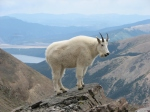 http://le-grove.co.uk/wp-content/uploads/2014/03/Mountain_Goat_Mount_Massive.jpg