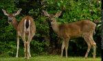 http://www.kimsallawayphotography.com/wp-content/uploads/2012/05/black_tail_deer_sallaway_4266.jpg