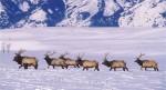 http://cdn1.arkive.org/media/4C/4C402A28-0362-4B45-AF77-33EABA91F4C4/Presentation.Large/North-American-elk-herd-in-snow.jpg