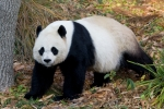 http://smithsonianscience.org/wordpress/wp-content/uploads/2012/04/giant-panda-at-national-zoo.jpg